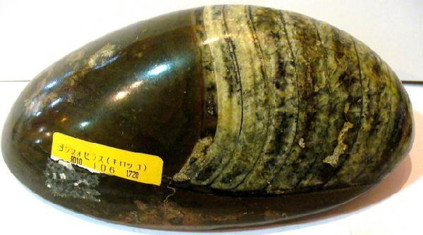【化石/貝類】直角石化石(オルソセラス)ゴンフォセラス_1